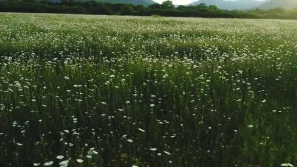 erstaunliche Luftaufnahme von blühenden Blumen Feld, weiße Kamille und Kiefern mit Bergen auf dem Hintergrund. Schuss. schöne grüne Wiese und blauer bewölkter Himmel