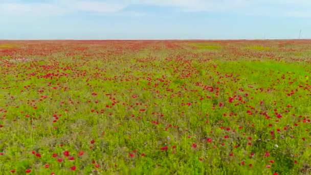 Top view on beautiful red poppy field. Shot. Beautiful landscape nature field of blooming poppy on blue sky background. Red field of poppies fascinates bright contrast of red with green