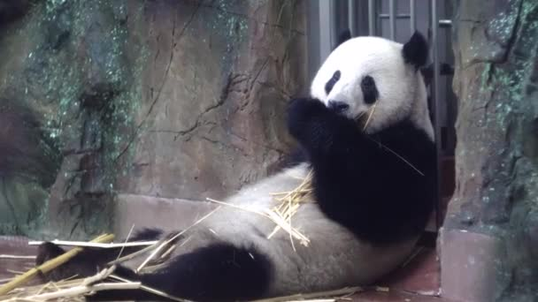 Panda eats bamboo stalks at zoo. Media. Chubby Panda sits lazily and with pleasure eat bamboo stems are strong teeth in zoo. Vegetable food from bamboo stalks Panda