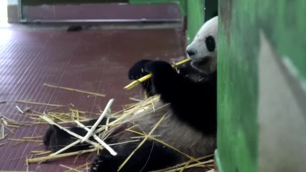 Panda eating bamboo stalks. Media. Fluffy giant Panda sitting holds bamboo stalks with his paws and chews them. Cute Panda childish eating tasty bamboo stems