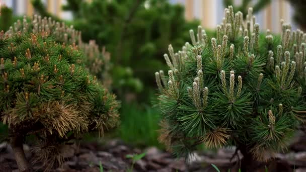 Nádherné jehličnaté keře na zeleném pozadí. Skladní záběry. Sazenice smrkových a jiných jehličnatých stromů v krásné zahradě se zeleným trávníkem