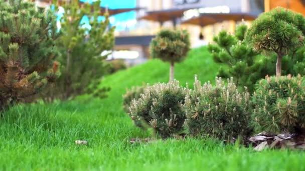 Zelené sazenice jehličnatých stromů v zahradě. Skladní záběry. Mladé jehličnaté stromy s kornouty osázené v dobře udržované zahradě se zeleným trávníkem