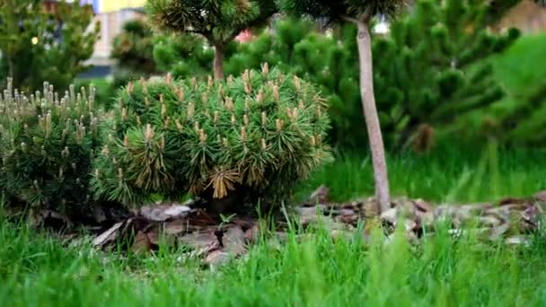 Green seedlings of coniferous trees in garden. Stock footage. Young coniferous trees with cones planted in well-kept garden with green lawn