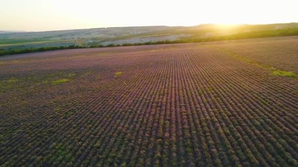 Venkovské pole na purpurovém pozadí východu slunce. Shot. Pohled na nádherná purpurová pole levandule na pozadí obzoru s prvními slunečními paprsky. Ranní krajina s levandulovou polí