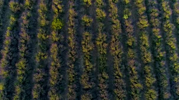 Top view of lavender on sunrise. Shot. Top view of beautiful rows of flowering lavender bushes illuminated by morning sun. Smooth rows of purple lavender field