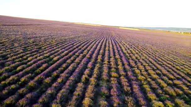 Draufsicht auf violette Reihen Lavendelfeld. Schuss. wunderschöne Landschaft des Lavendelfeldes. Bauern Feld von duftenden und nützlichen Lavendelsträuchern