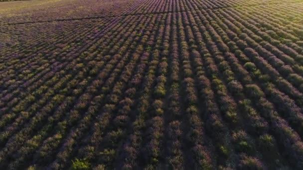 Blick von oben auf schöne Reihen Lavendelfeld. Schuss. violette Lavendelsträucher auf dem Feld der Bauern. schöne und heilende Lavendelpflanzen