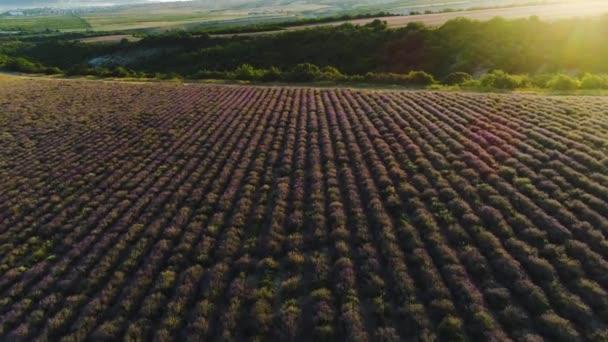 Horní pohled na krajinu s levandulovým polem. Zastřelen. Jemné sluneční světlo dopadá na purpurové pole levandulových keřů. Farmářská pole levandule pro kosmetologii, medicínu a aromaterapii