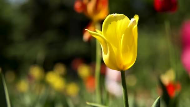 Zblízka žlutý tulipán na louce v městském parku. Záběry ze skladu. Barevné jarní květiny na rozmazaném pozadí, zkrášlení městského území.