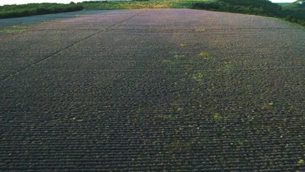 Letecký pohled na krásný východ slunce nad velkým levandulovým polem. Zastřelen. Krajina na náhorní plošině Valensole, Provence, Francie, Evropa