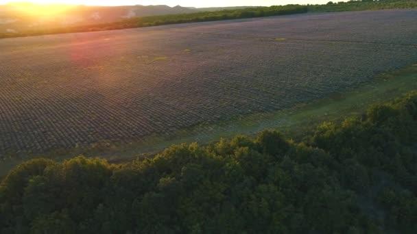 Letecký pohled na velké levandulové pole obklopené zelenými stromy v paprscích vycházejícího slunce. Zastřelen. Krajina na náhorní plošině Valensole, Provence, Francie, Evropa.