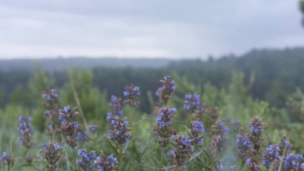 Közelről a sárkányfej kék virágai nőnek a mezőn. Készletfelvétel. Gyógyszer és nektár növény, virágzó Dracocephalum moldavica egy esős nyári napon.