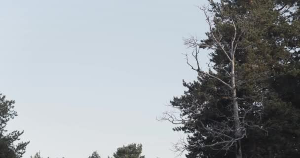 Egy halott fenyőfa és egy fenyőfa sziluettjei. Készletfelvétel. Természetes háttér egy halott fa előtt kontrasztos örökzöld tűlevelű fa ellen kék ég.