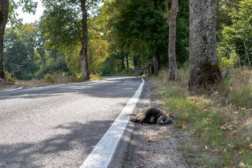 Killed raccoon at the edge of an asphalt road. Forest animals killed by car drivers. Season of the autumn.