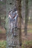 Fotografia Un cuore tagliato in un tronco di abete. Cuore grondante di resina nella foresta di abete rosso. Stagione di autunno