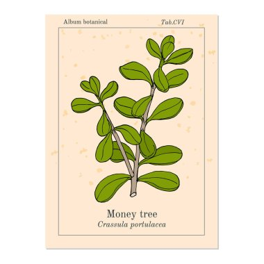 Money tree or jade plant Crassula portulacea , medicinal plant