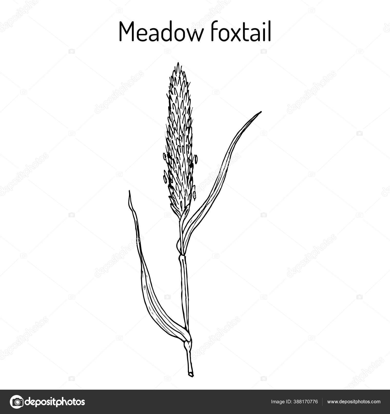 Padang Rumput Foxtail Alopecurus Pratensis Tanaman Obat Stok Vektor C Foxyliam 388170776