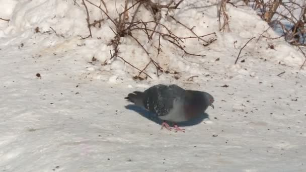 two pigeons cooing in the snow in the spring