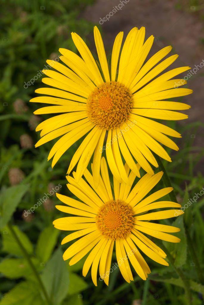 Doronicum Oriental yellow, Rome flowers spring garden
