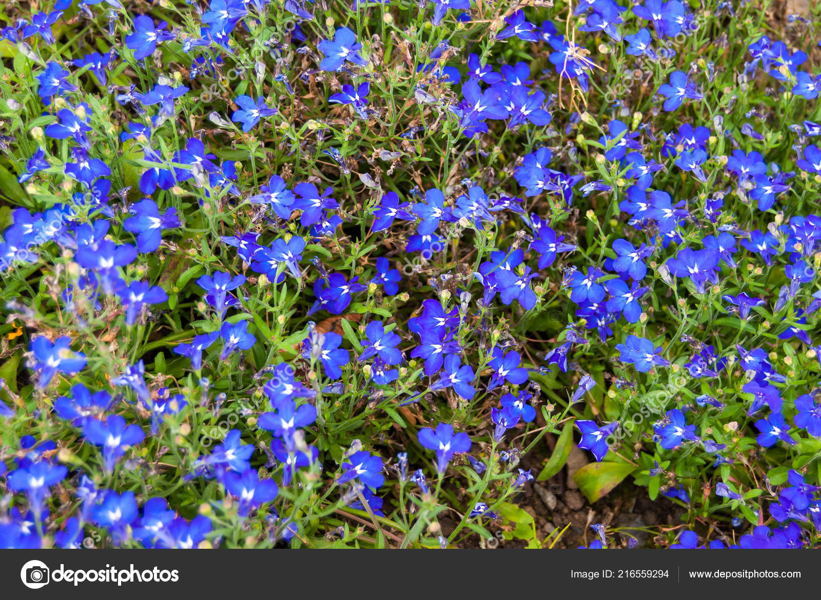 Blue Trailing Lobelia Flowers Or Edging Lobelia Alpine Herbs Of