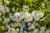 Větve kvetoucího stromu. Třešňový strom v bílých květech. jaro slunečného dne. Zavřít