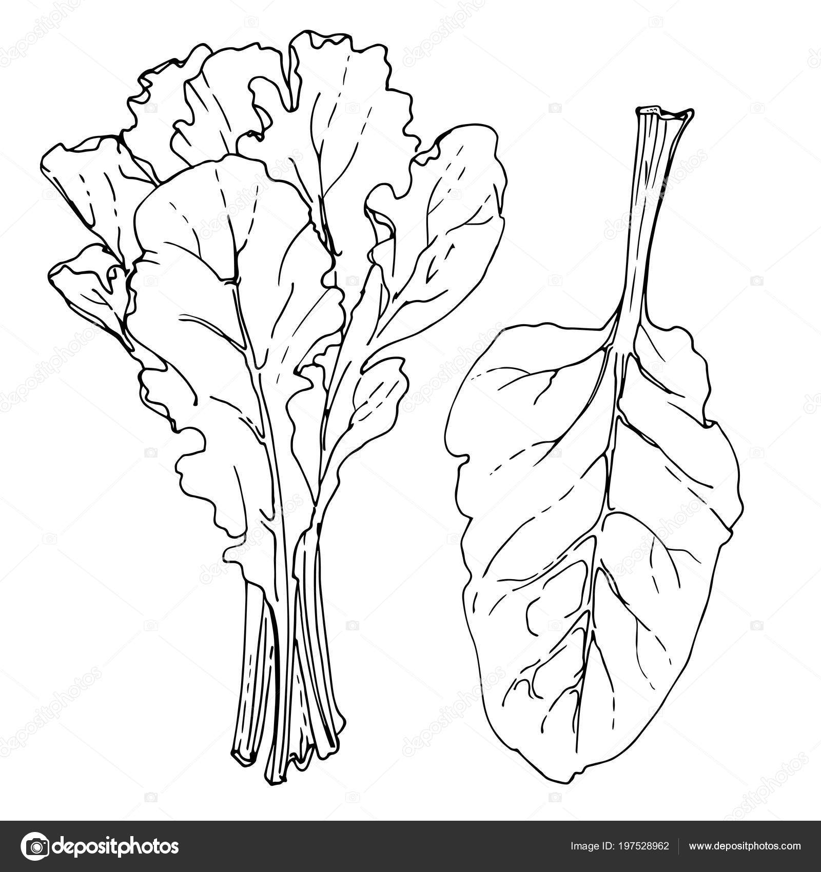 Swiss Chard Vector Images Royalty Free Swiss Chard Vectors Page 2 Depositphotos