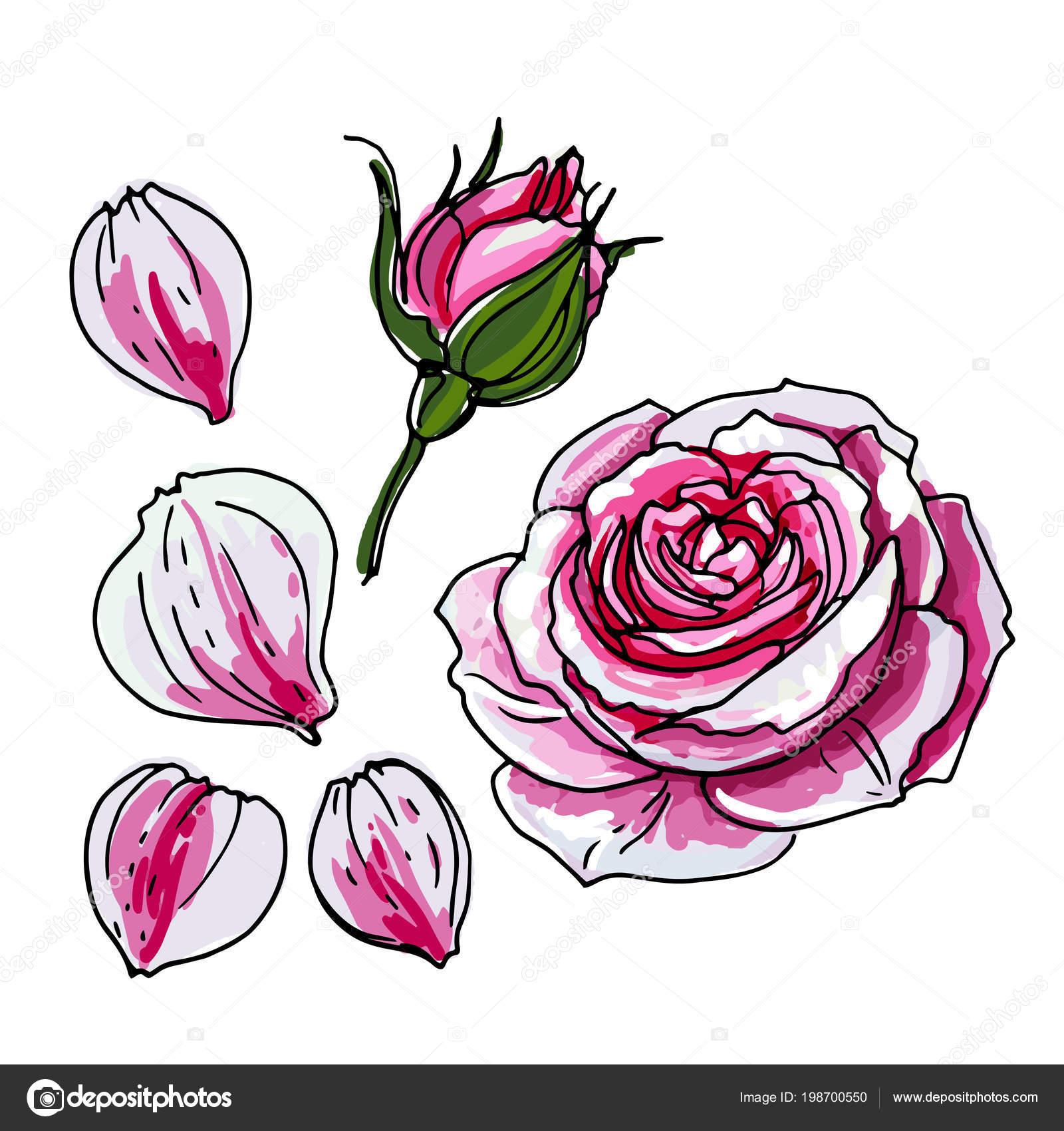 botão rosa flor rosa desenho flores sobre fundo branco linha
