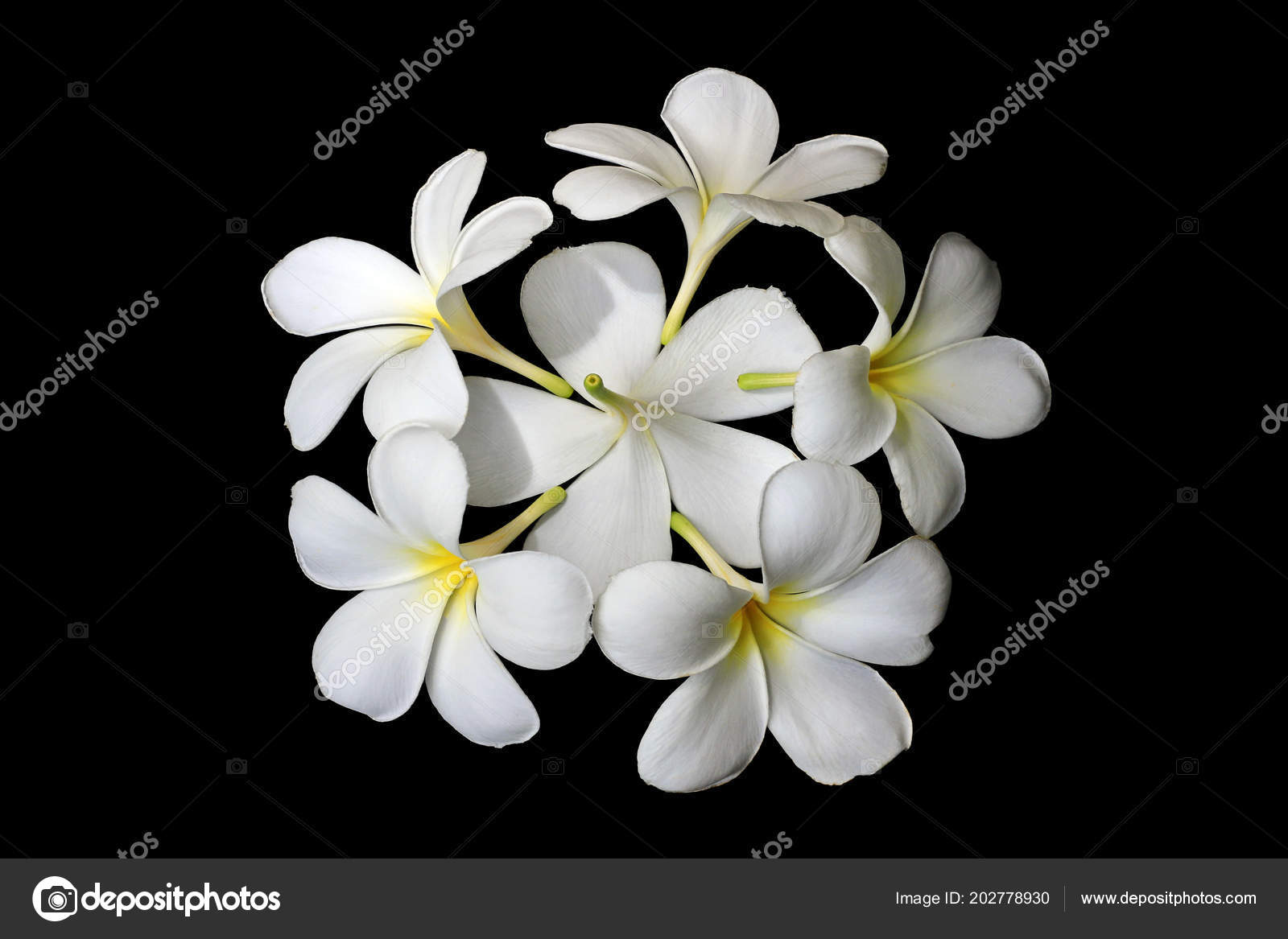 Plumeria flowers black background stock photo raluephoto 202778930 plumeria flowers black background stock photo mightylinksfo