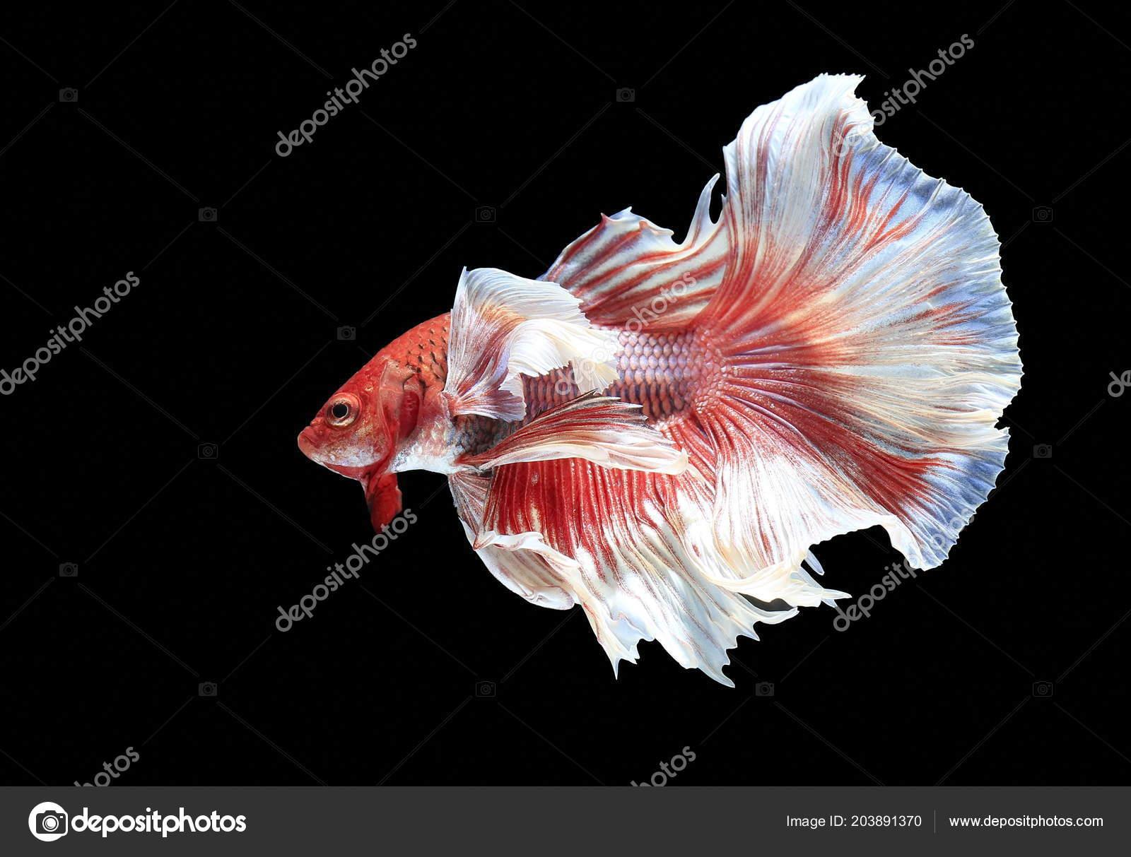 Fish Fighting Beautiful Fish Colorful Fish Fighting Siam Black ...