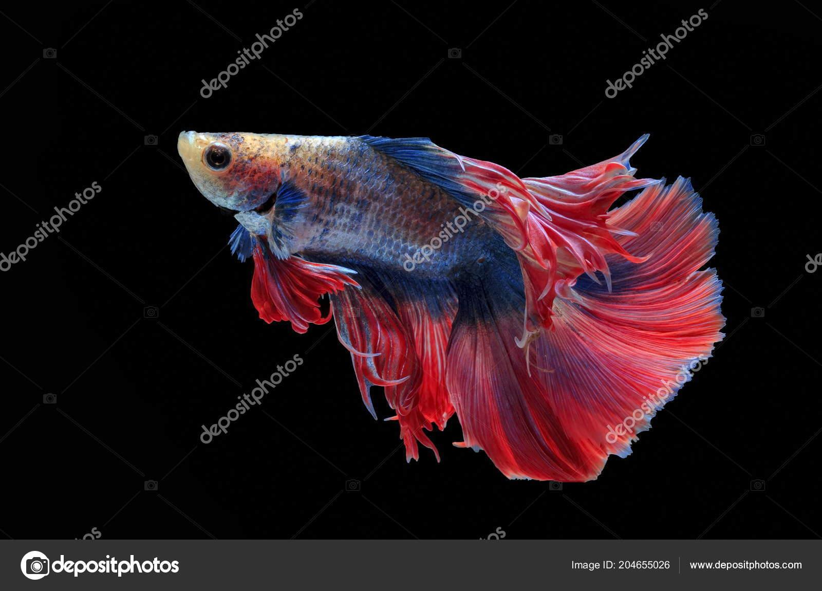 Fighting Fish Beautiful Fish Beautiful Color Fighting Fish Siam ...