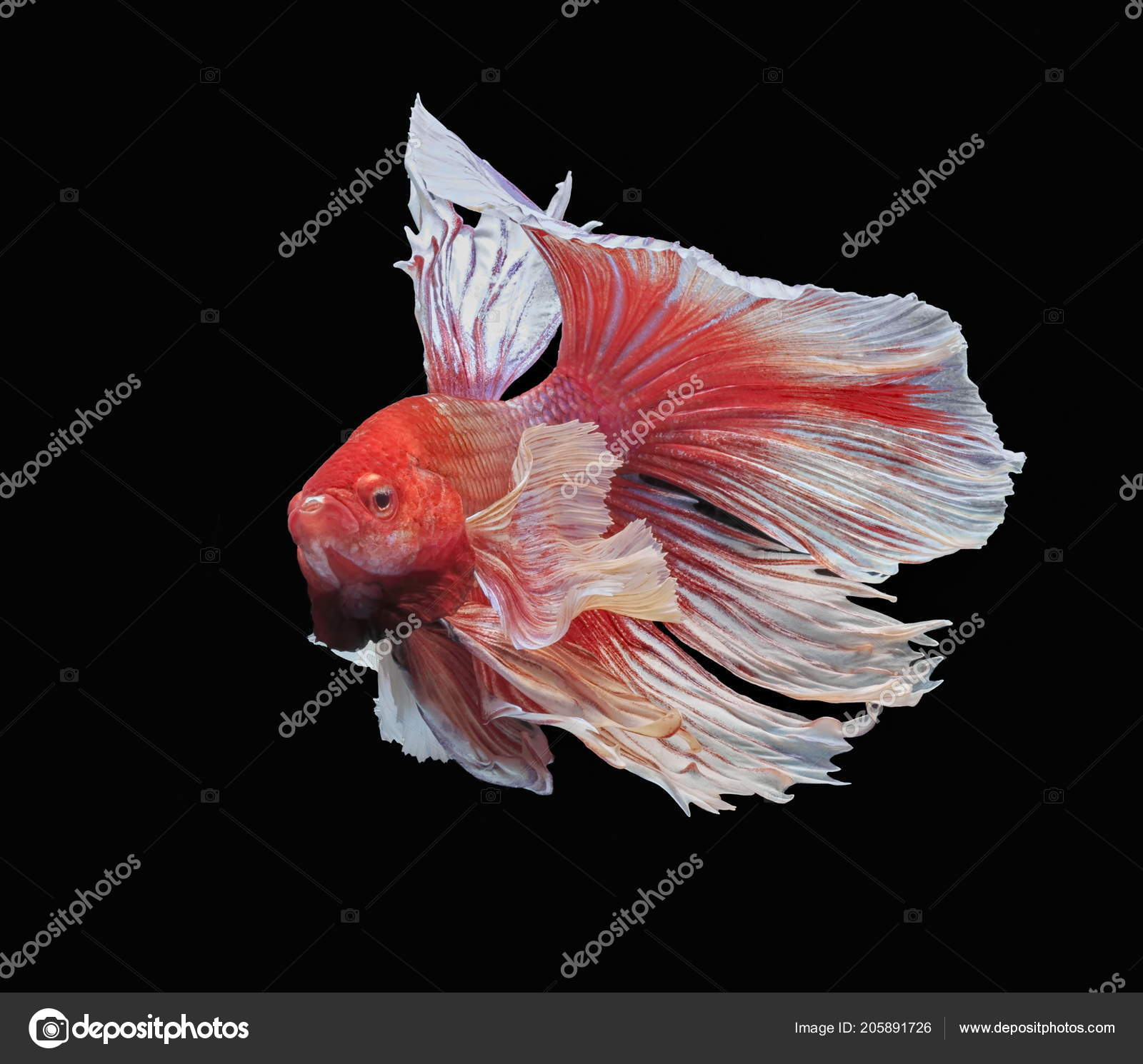 Fish Fighting Beautiful Fish Colorful Fish Fighting Siam Colorful ...