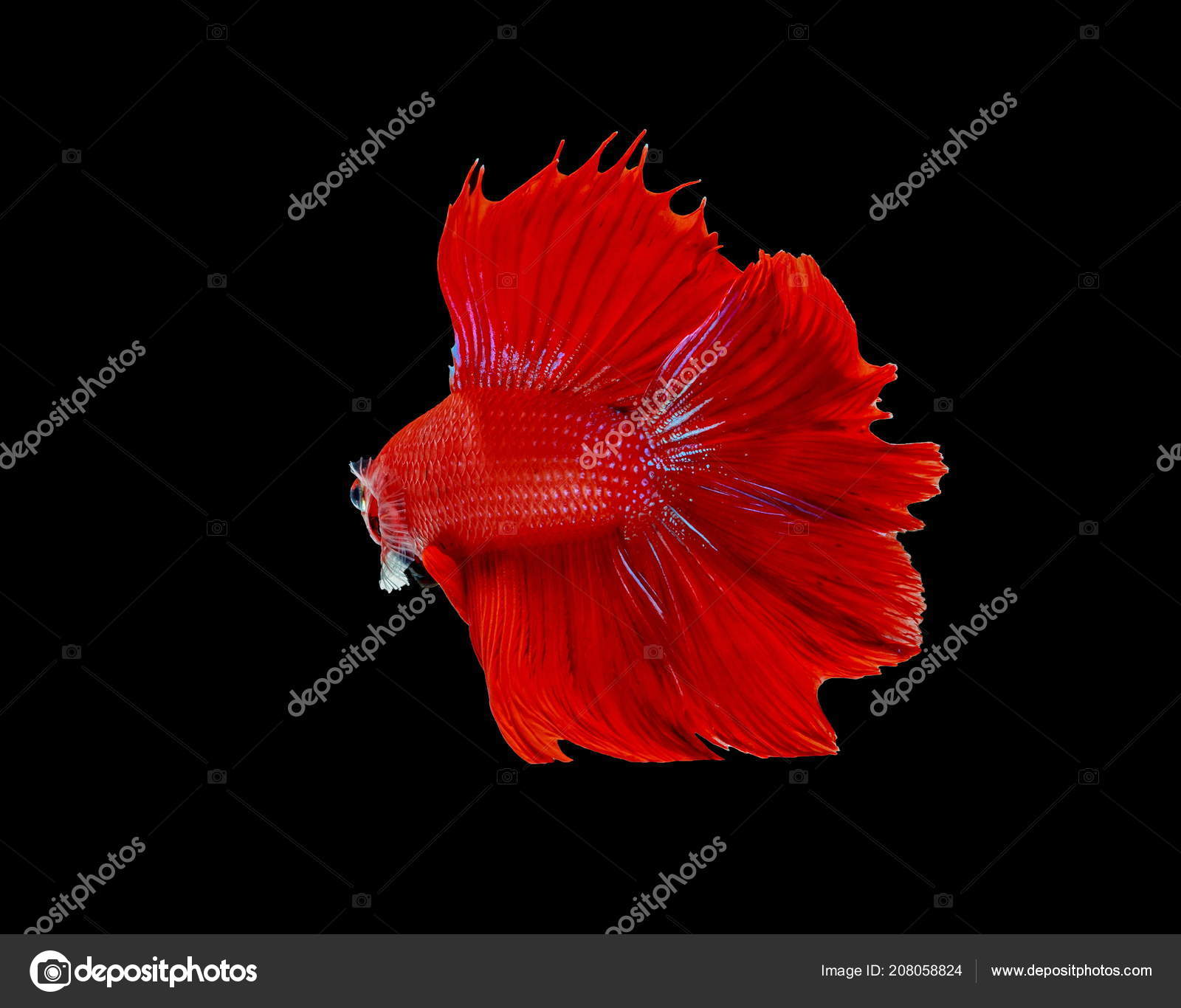 Fighting Fish Red Fish Black Background Color Siamese Fighting Fish ...