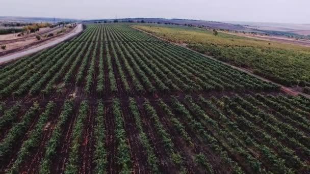 Panoramic view of vineyard landscape