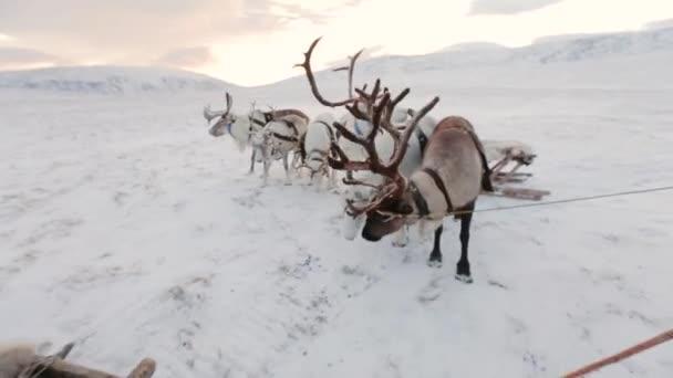 Gyönyörű rénszarvasok sarkvidéki felkészülnek arra, hogy megy az erdő közepén.