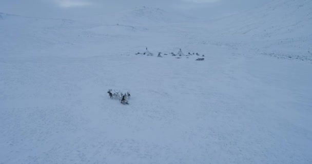 Taking video from the top with drone , man ride together with reindeers on the sleigh in the middle of Arctic. shot on red epic. slow motions .4k