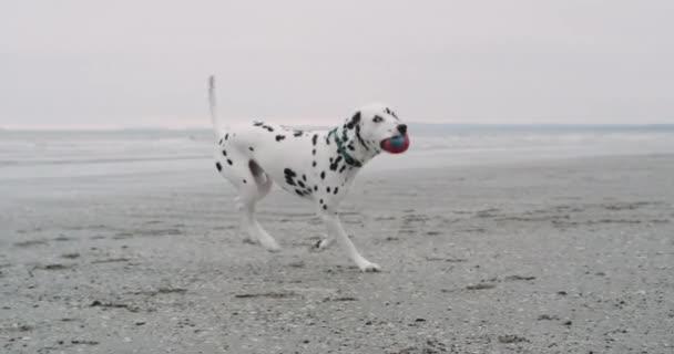 Běžící pes Dalmatin na pláži a drží malé kuličky na ústa, na kameru.