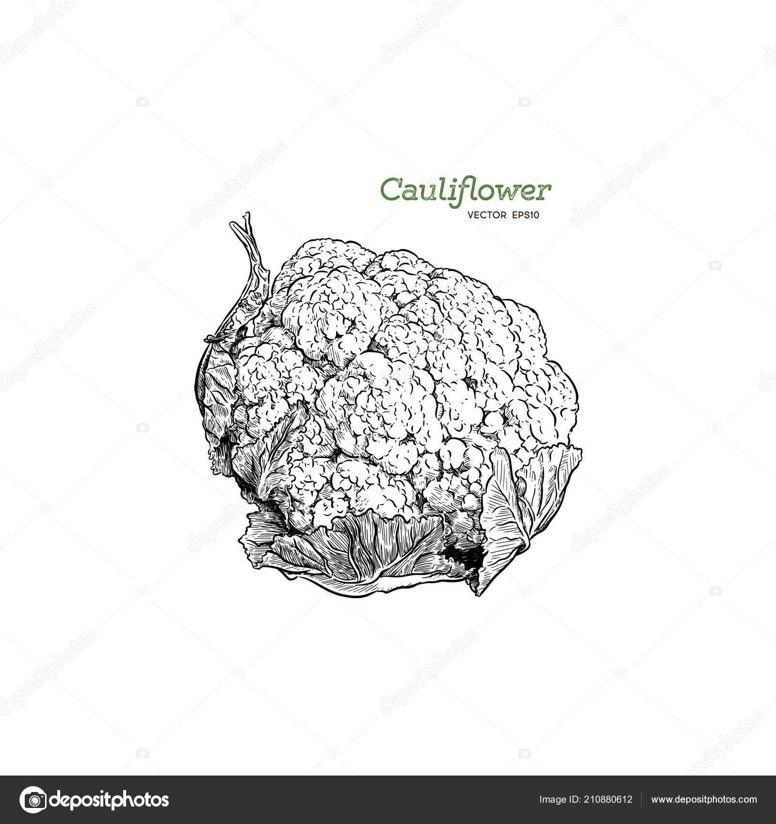 Cauliflower hand drawing vegetables vector art illustration vintage cauliflower hand drawing vegetables vector art illustration vintage engraving kitchen vetor de stock ccuart Images