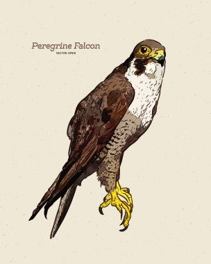 Vector antique engraving drawing illustration of peregrine falco