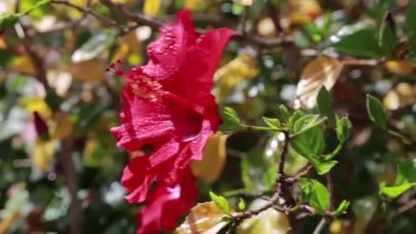 Kvete červenými ibišky poupat alfa matný, Full Hd