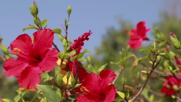 Virágzó piros Hibiszkusz virág bimbók alfa Matt, Full Hd