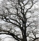 Silueta stromu větví bez listí na pozadí šedé oblohy