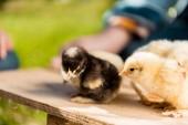 Fotografia messa a fuoco selettiva dei pulcini del bambino adorabile su tavola di legno e coltivatore maschio dietro allaperto