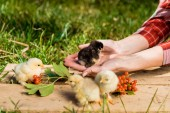 levágott kép a baba csibék és rowan a szabadban a fából készült táblán női farmer