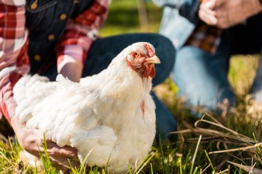 cropped image of couple of farmers sitting on grass with chicken outdoors