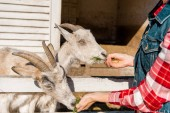 Photo partial view of female farmer feeding goats by grass near wooden fence at ranch