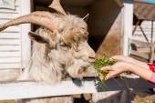 Fotografia vista parziale del coltivatore femminile allattamento capra di erba vicino al recinto di legno presso azienda agricola