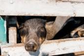 zár megjelöl kilátás fekete malacka állandó fából készült kerítés a farm közelében