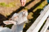 Fotografia vista parziale del coltivatore maschio alimentazione capra da erba vicino al recinto di legno presso azienda agricola