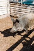 Fotografie selective focus of grey pig walking in corral at farm