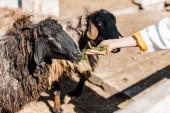 Oříznout obrázek ženské farmář krmí černá ovce do trávy na ranči